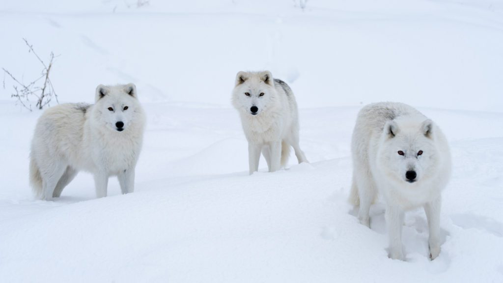 Adorable Tundra Animals – The Canadian Arctic Comes to Life