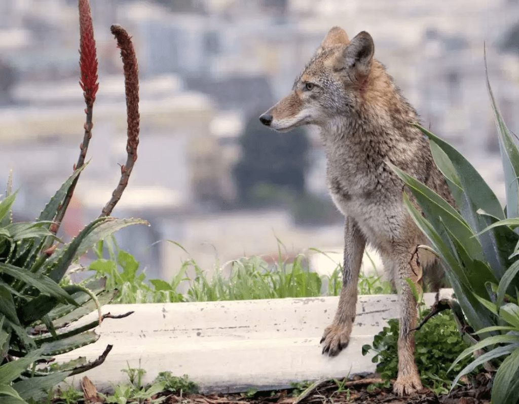 Right here's Why People and Wild Coyotes Ought to Get Alongside