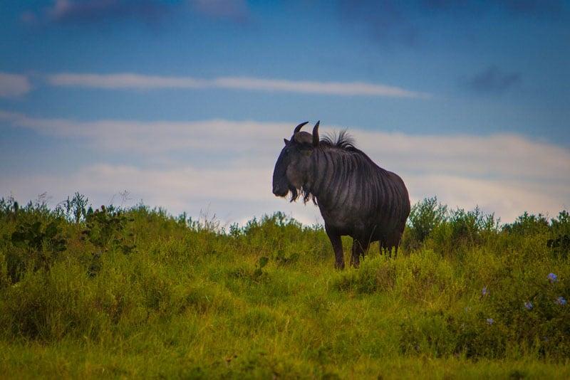 Serengeti's Nationwide Park Wildebeest Migration