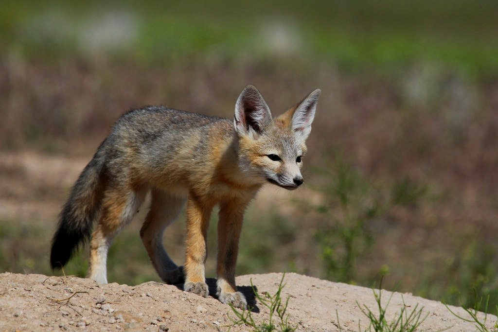 Dying Valley fox