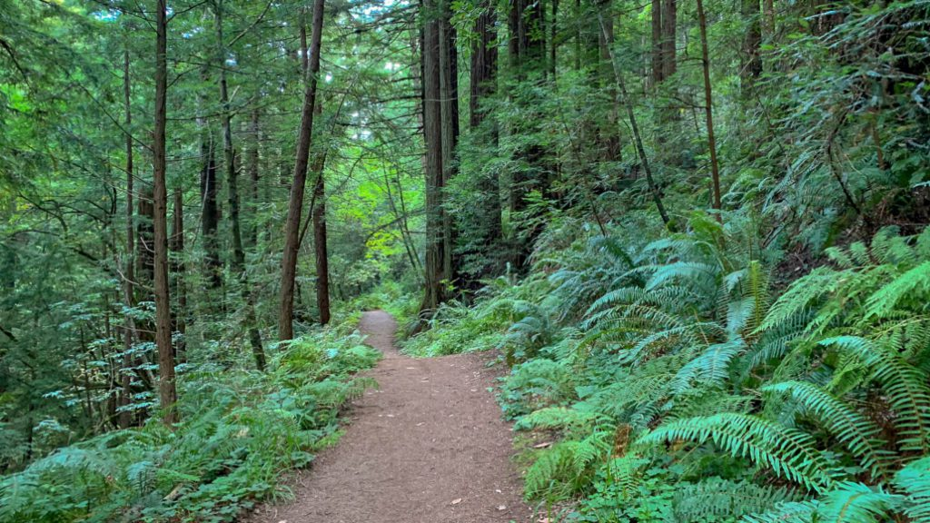 Redwood Hikes within the Peninsula