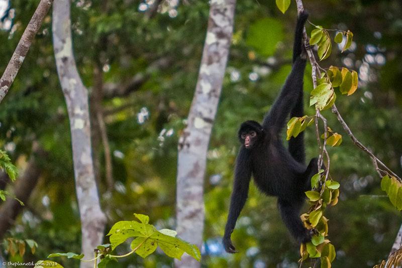 Catch Loads of Monkey Antics Costa Rica