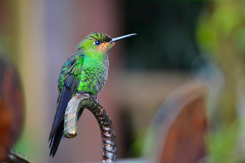 Hummingbirds are Plentiful Costa Rica