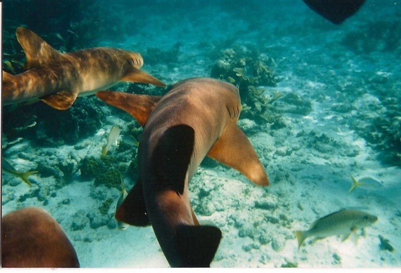 swimming with sharks in the exuma cays bahamas