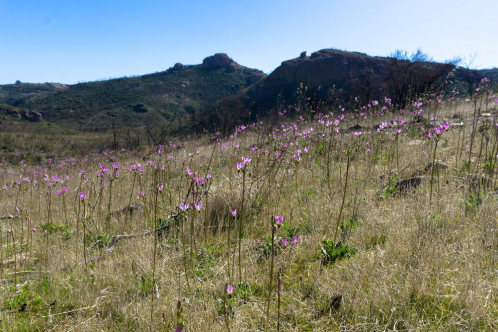 woolsey-fire-sandstone-peak-plant