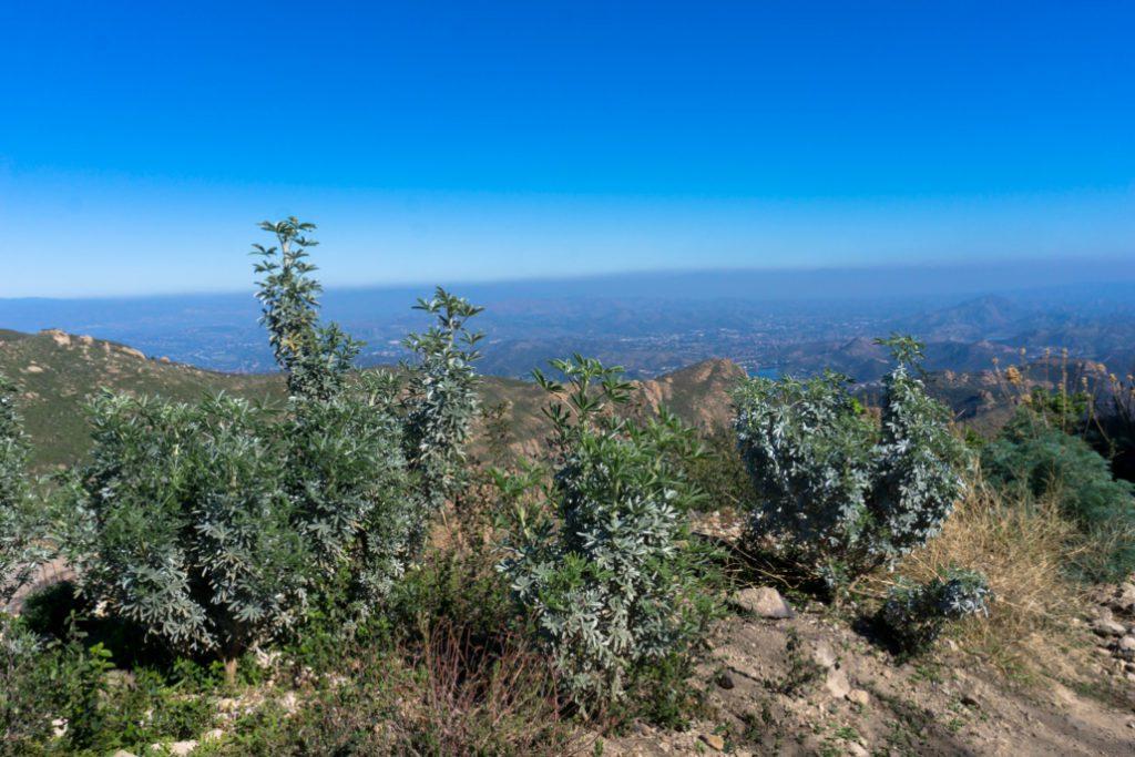 woolsey-fire-sandstone-peak-plants2