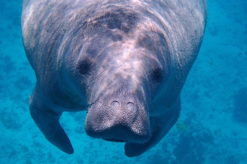 snorkel with manatees in belize