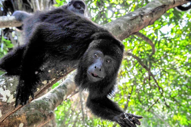 howler monkey in Belize