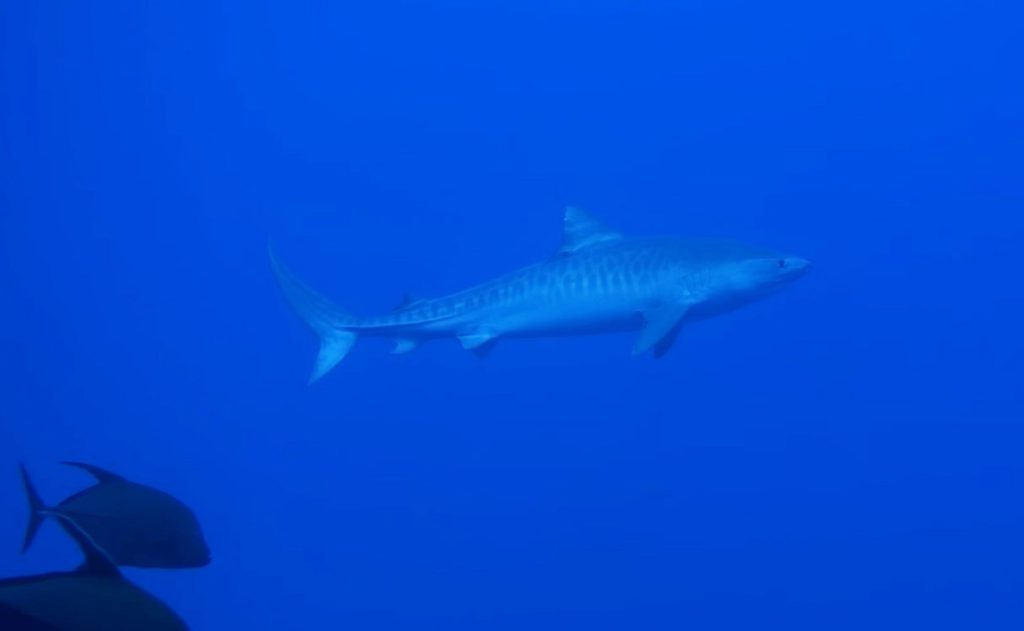 Ogasawara Islands Mature Tiger Shark