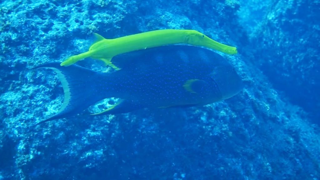 Ogasawara Islands Trumpet Fish