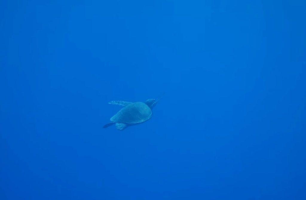 Ogasawara islands turtle
