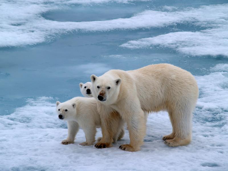 Polar Explorers bear