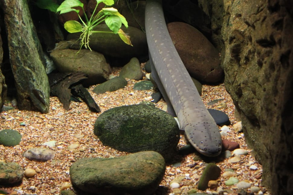 About Electric eel