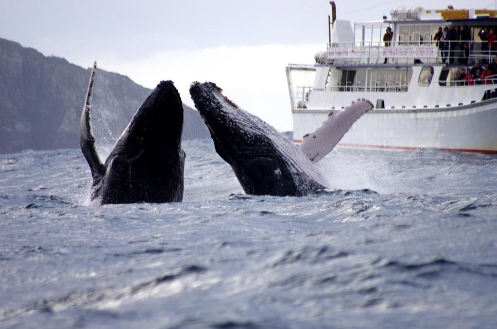 whale watching Husasta Iceland