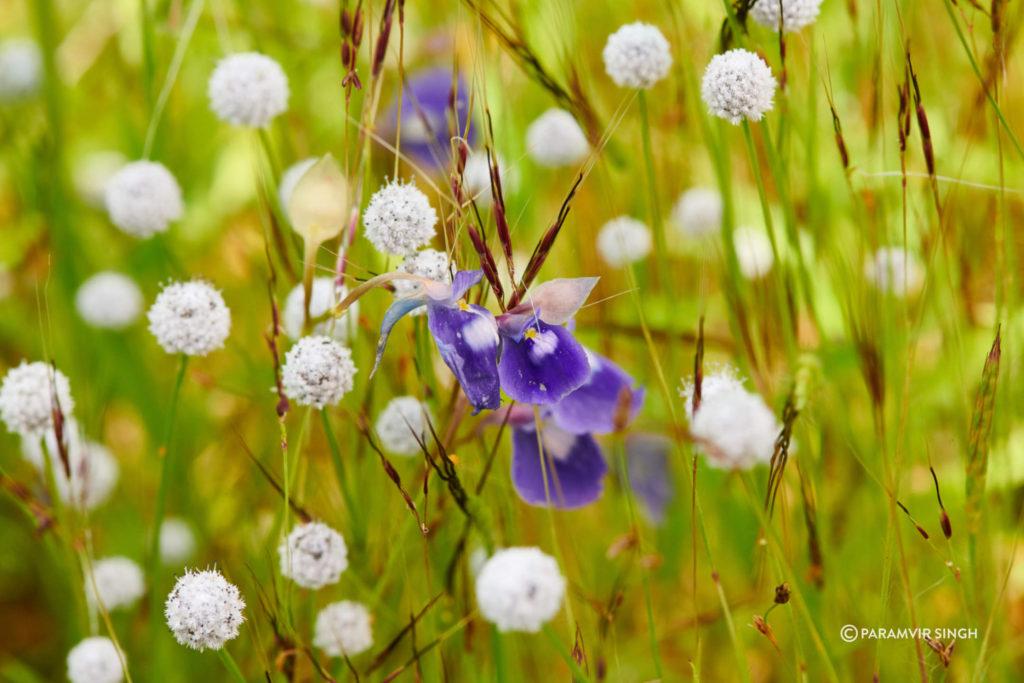 Utricularia purpurascens and Eriocaulon sedgwickii